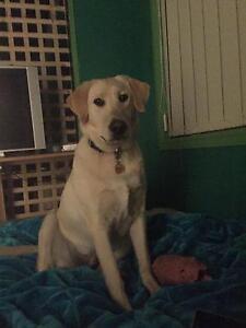 Labrador free to good home Buxton Murrindindi Area Preview