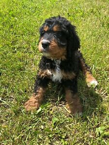 Black Dogs Adopt Dogs Puppies Locally In Canada Kijiji