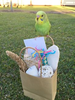 GORGEOUS HAND TAME BABY BUDGIE Boondall Brisbane North East Preview