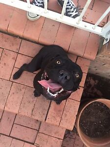 2yr old Staffy X looking for home Campbelltown Campbelltown Area Preview