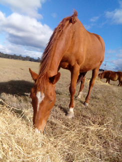 For Reluctant Sale,Thoroughbred mare