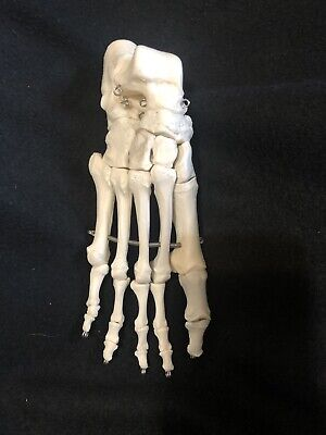 3b Scientific A30r Right Foot Skeleton Anatomical Model Anatomy A30