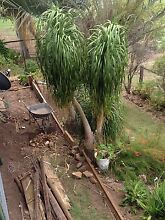 Ponytail palms Kalbar Ipswich South Preview