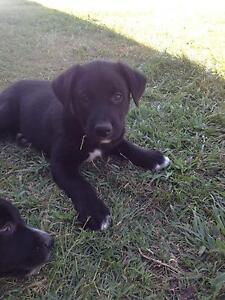 Loyal Border Collie x Kelpie Male Pup Ipswich City Preview