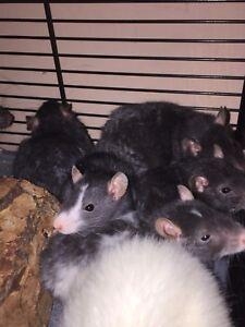 Adorable Rat Babies!