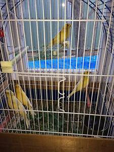 canaries for sale - 2 pairs Mudgee Mudgee Area Preview