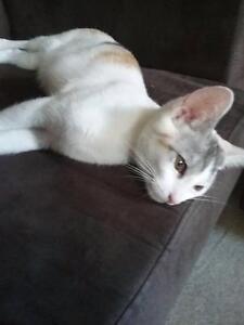 Female kitten for sale Slacks Creek Logan Area Preview