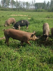 Weaner and Butcher pigs for sale