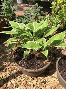Hosta plant, ready to be planted