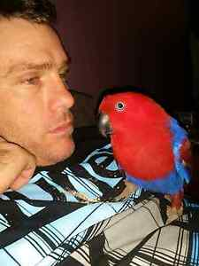 Eclectus ** Maitland Maitland Area Preview