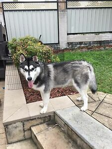 Husky, full bred Narwee Canterbury Area Preview