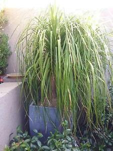 Ponytail palm - large Dubbo Dubbo Area Preview