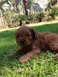 Red Male Toy Cavoodles  McMinns Lagoon Litchfield Area Preview