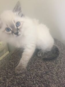 Purebred Ragdoll kitten TICA registered
