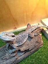 Eastern bearded dragon male South Toowoomba Toowoomba City Preview
