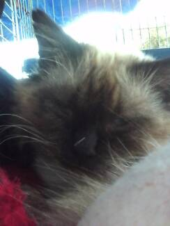 Blue eyes and friendly male cat. Birman ragdoll Mount Lawley Stirling Area Preview