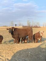 2yo registered red angus