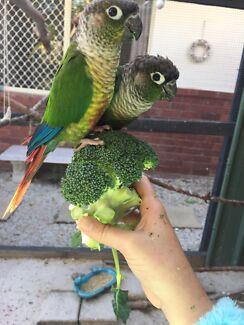 Green cheek conure pair