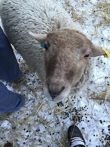 2 rams perfect for butcher or breeding