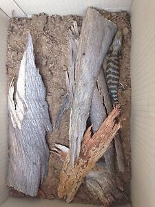 Baby Blue Tongue Lizard Wynn Vale Tea Tree Gully Area Preview