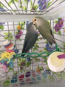 Pair of Lovebirds and large vision cage.