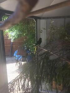 Kakarikis - New Zealand Parakeets Booragoon Melville Area Preview