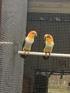 Macaws amazons conures Tamworth Tamworth City Preview