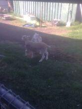Pet lambs Wattle Grove Kalamunda Area Preview