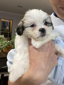 Maltese Shih Tzu Puppies LAST 1