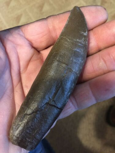 """TRex complete tooth fossil replica Jurassic 5"""" around curve BROWN"""