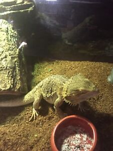 1 1/2 Year Old Bearded Dragon and Terrarium