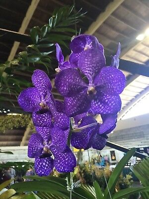 Vanda Pakchong Blue Orchid Plant Seedling Sale    Fantastic Color