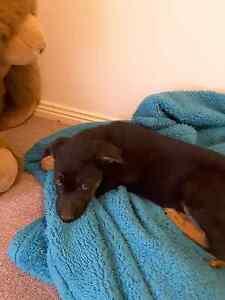 German Shepherd puppy Bacchus Marsh Moorabool Area Preview