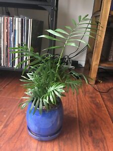 Palm Tree / Houseplant (includes blue pot with drainage)