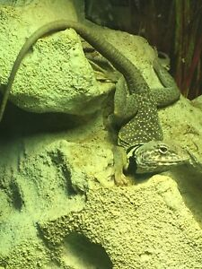 Male and female collard lizards.  $100 this weekend. WOW!!