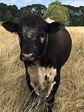 Stud Bull Hire Balnarring Mornington Peninsula Preview