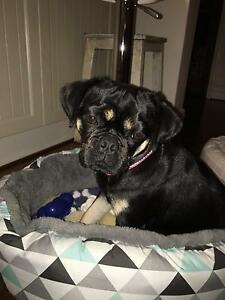 Pug King Charles Cavalier Cross Female 1 yr old Shelley Canning Area Preview