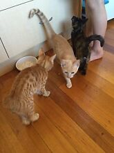 2 kittens - giveaway Bellbowrie Brisbane North West Preview
