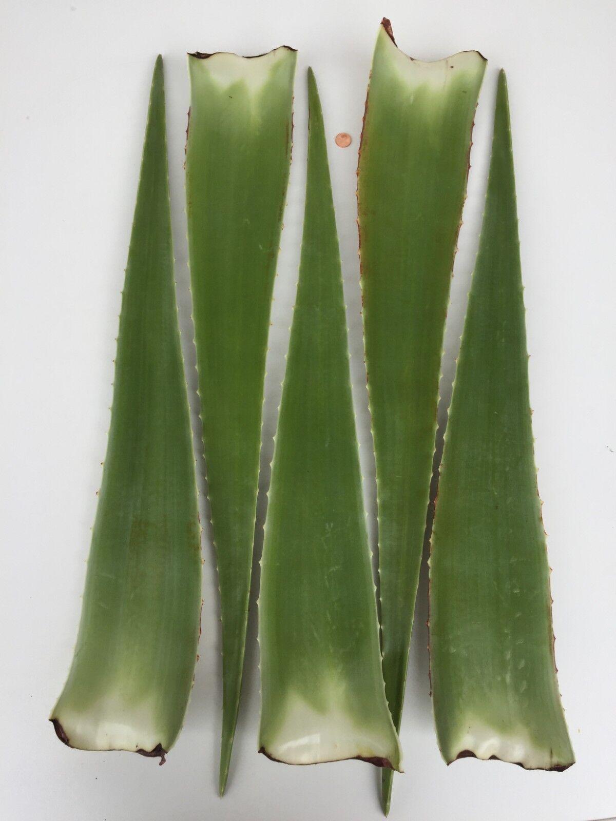 Bio Aloe Vera Blätter aus Spanien (ca. 3KG - 5 Blätter)