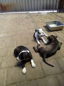 Puppy's for sale american staffy x Morley Bayswater Area Preview