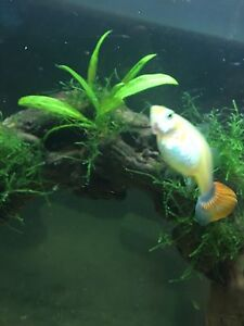Guppies for sale!!!