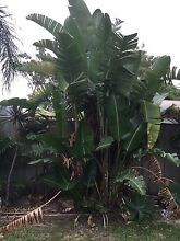 Palm trees and other plants - dig and take Umina Beach Gosford Area Preview