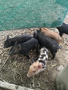 Miniature piglets Bellingen Bellingen Area Preview
