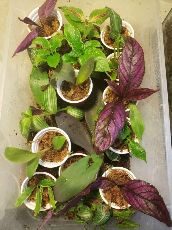 3 x Terrarium Vivarium plants partially rooted - bundle