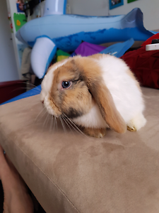 Mini lop bunny Point Cook Wyndham Area Preview