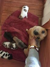 Pomeranian x Jack Russell x Chihuahua Wakeley Fairfield Area Preview