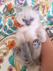 Ragdoll blue point kittens Arncliffe Rockdale Area Preview