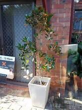 2m magnolia in ceramic pot Mount Lawley Stirling Area Preview