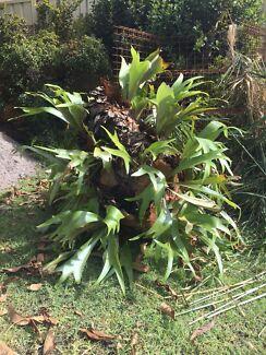 Elkon plant,  large size, healthy