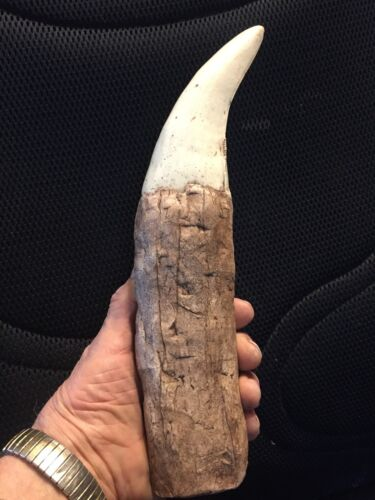 """The BIGGEST T Rex Tooth REPLICA ever 12 """"+ Fully restored root great serrations"""